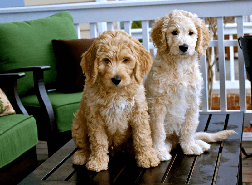 Goldendoodle-Facts