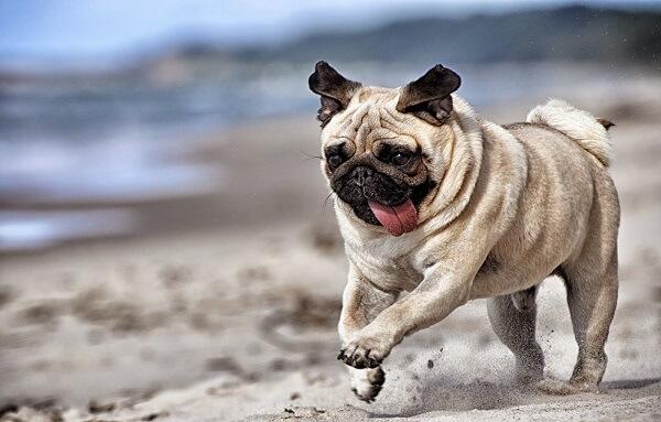 Healthy_pug_dog