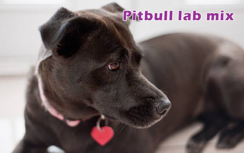 pitbull-lab-mix