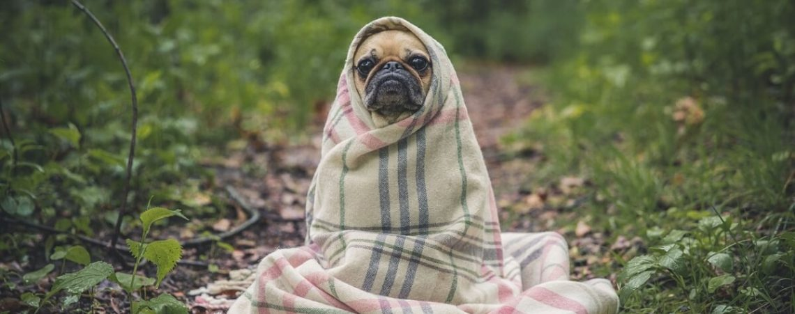 pug-in-blanket
