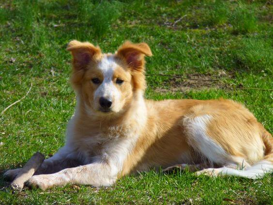 Golden Collie