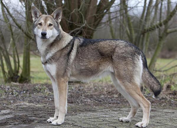 Saarloos Wolfdog