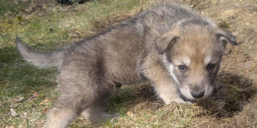 Saarloos Wolfhound puppy