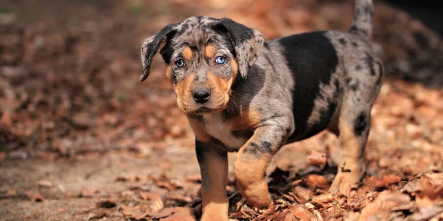 Catahoula-Leopard-puppy