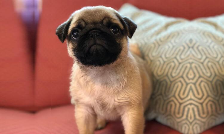 Cutest pug dog