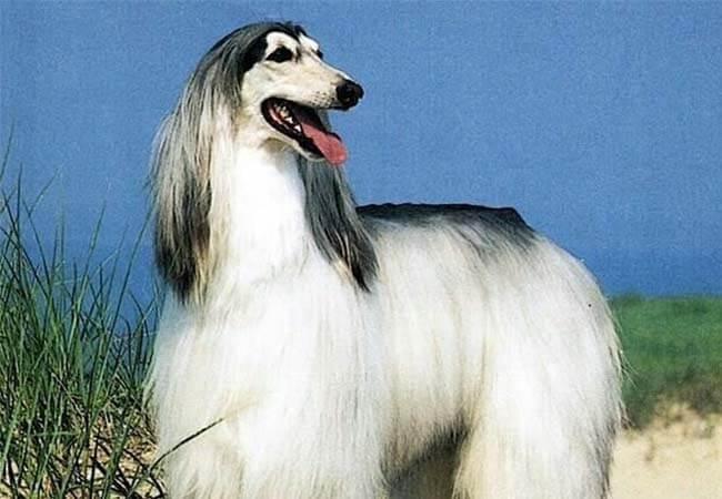 long hair afghan hound