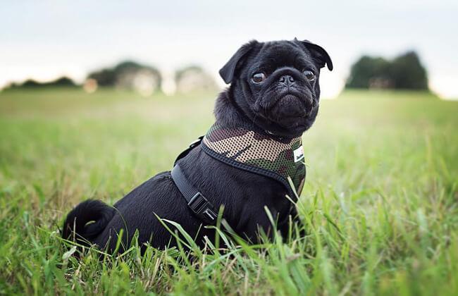 Cute black pug picture