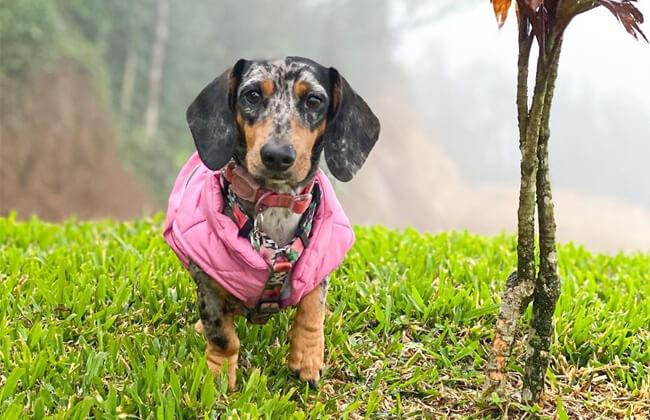 Dapple dachshund dog breeders photo