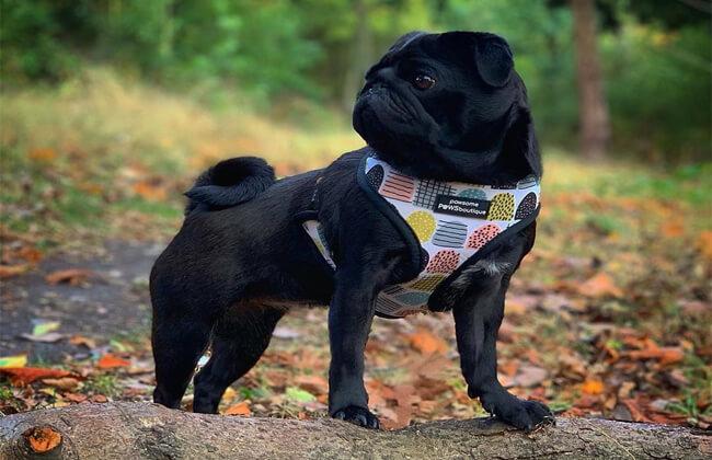 black pug for sale