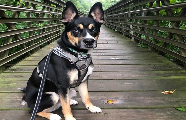 pitsky-dog