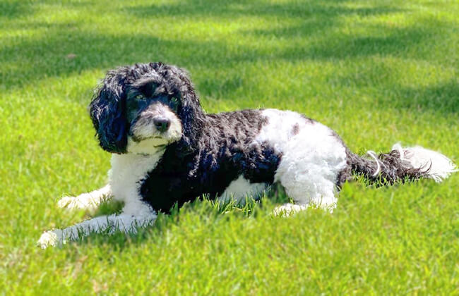 Cavapoo-dog-photo