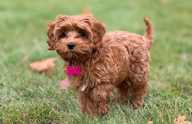 Cavapoo-puppy-dog
