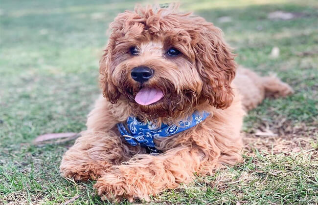 Cavapoo-puppy-photo