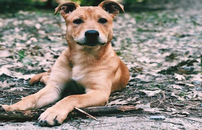 German Shepherd Pitbull Mix dog