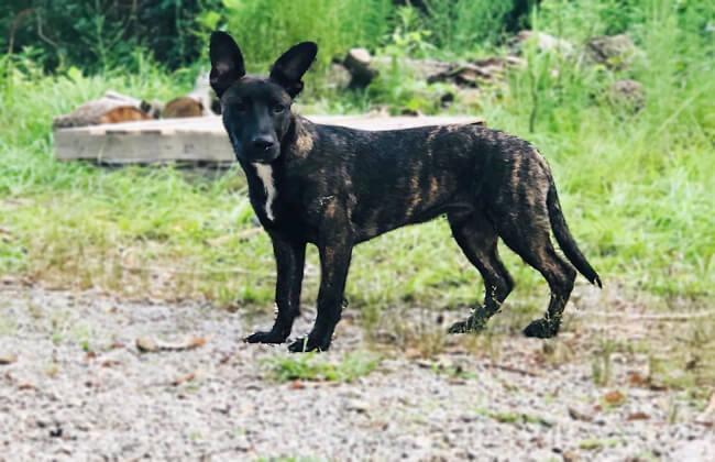 German Shepherd Pitbull Mix for sale
