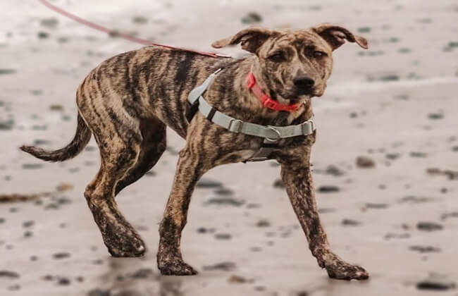 German Shepherd Pitbull Mix puppy photo